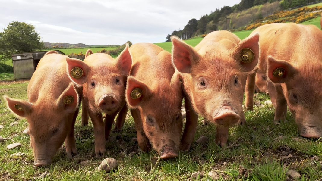 Synchronised piglets in a row