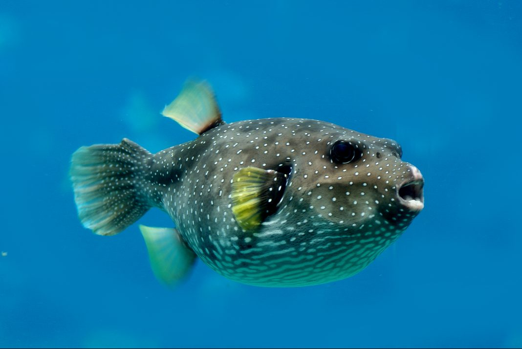Opioid alternative may be found in lethal pufferfish toxin