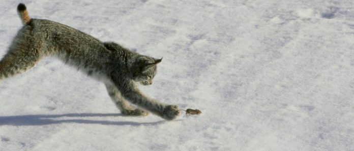 mouse being chased by a lynx