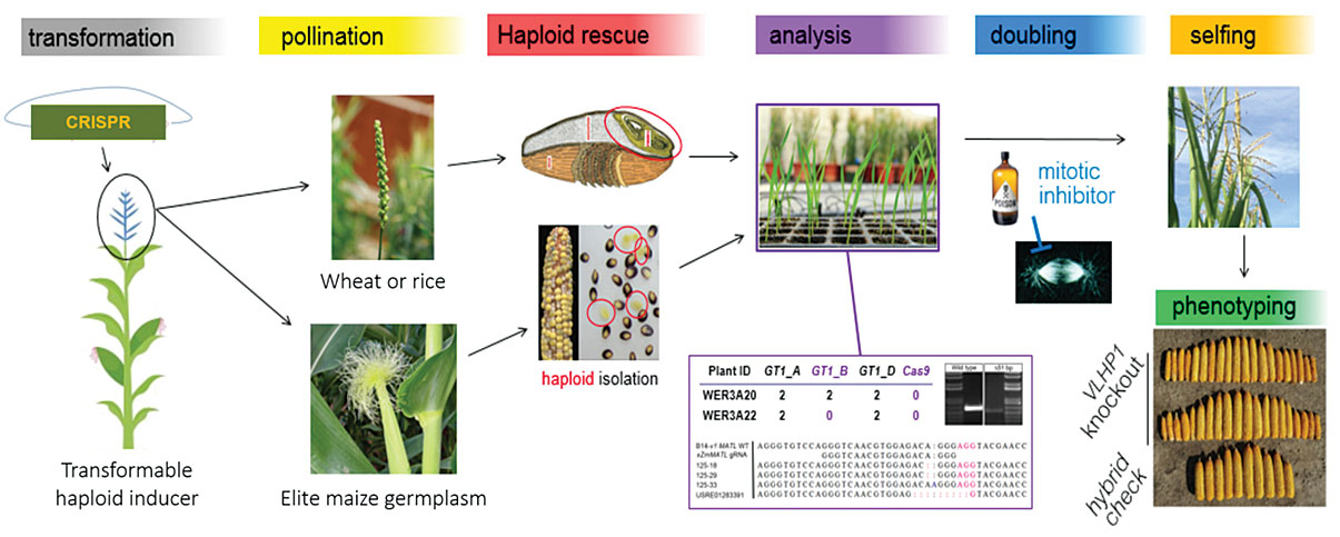 HI-Edit haploid induction editing technology