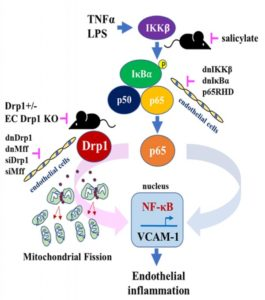 mitochondrial fission in endothelial cells