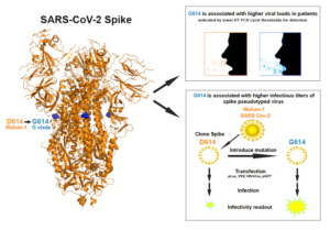 Newer More Dominant Covid 19 Variant Is More Infectious In The Lab