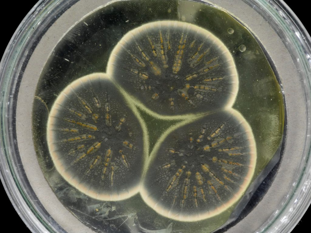 Genome of Fleming's Original Penicillium Strain Could Point to New Routes for Industrial Manufacture - Genetic Engineering & Biotechnology News
