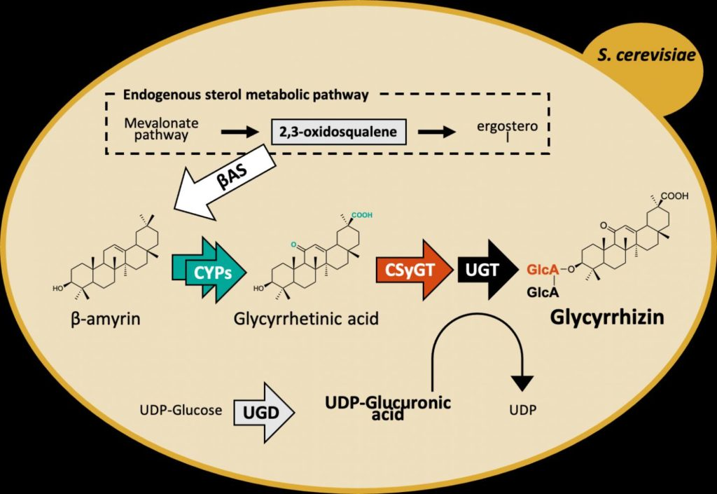 Engineered biosynthetic pathway for production of glycyrrhizin in yeast