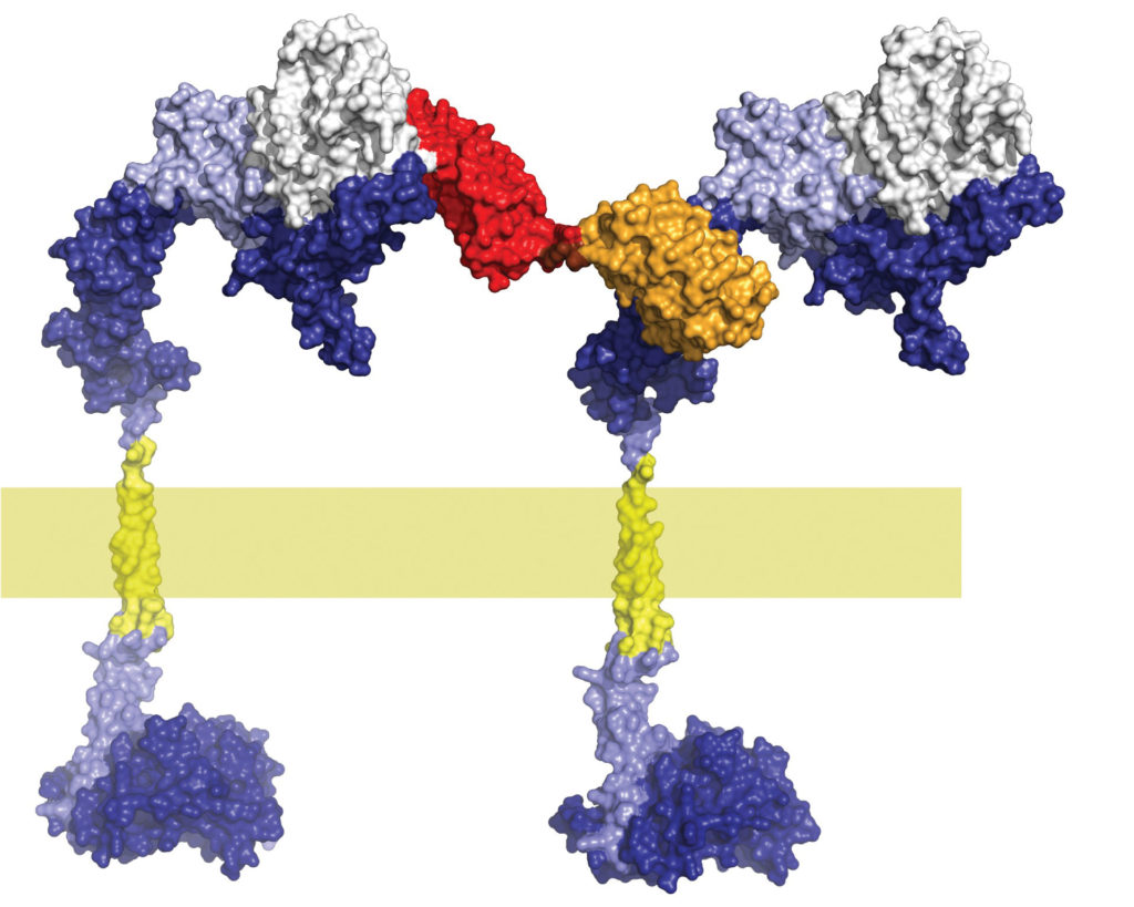 synthetic designed ankyrin repeat proteins (DARPins)